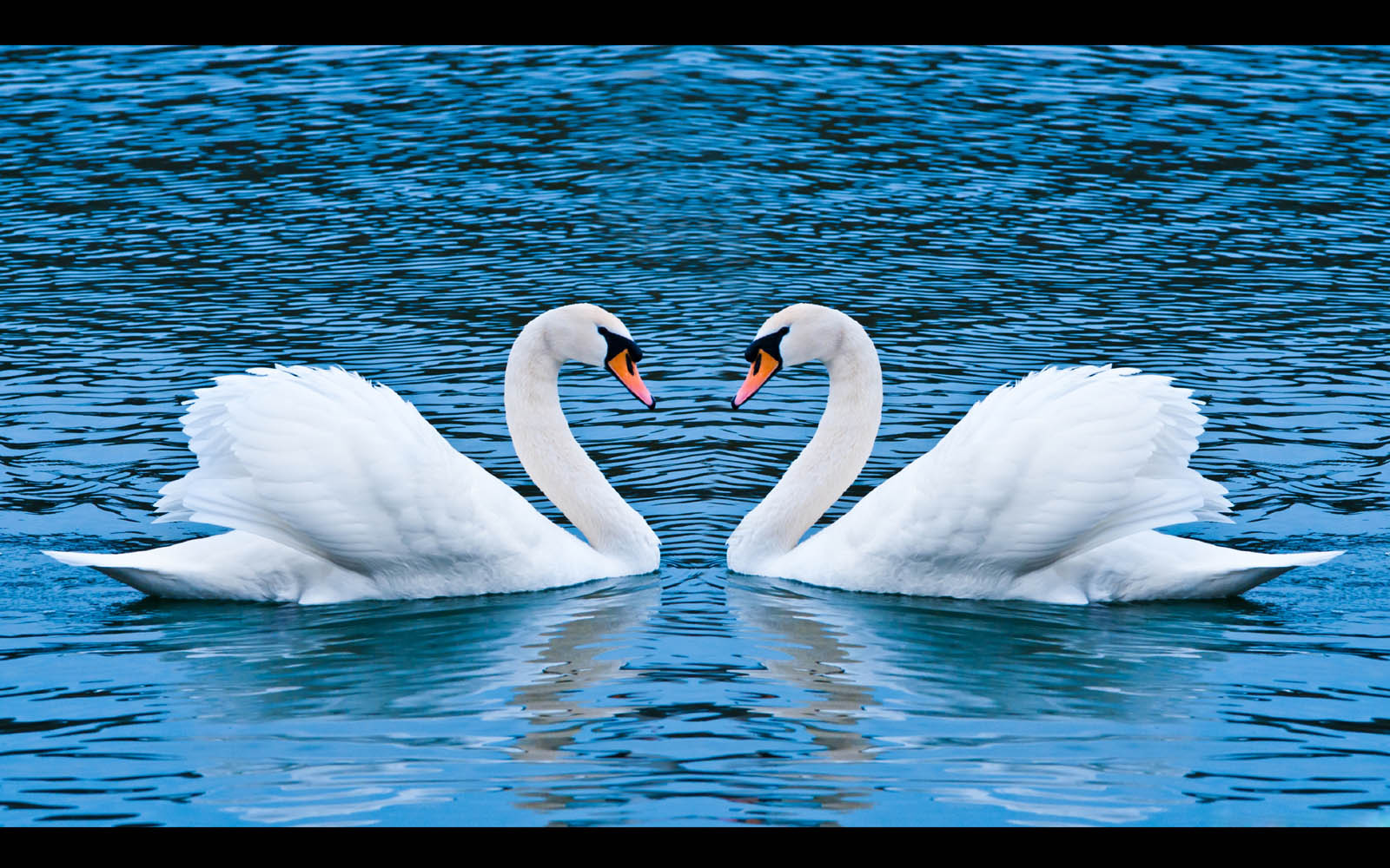 Tag Swan Wallpapers Backgrounds Photos Imagesand Pictures for 1600x1000