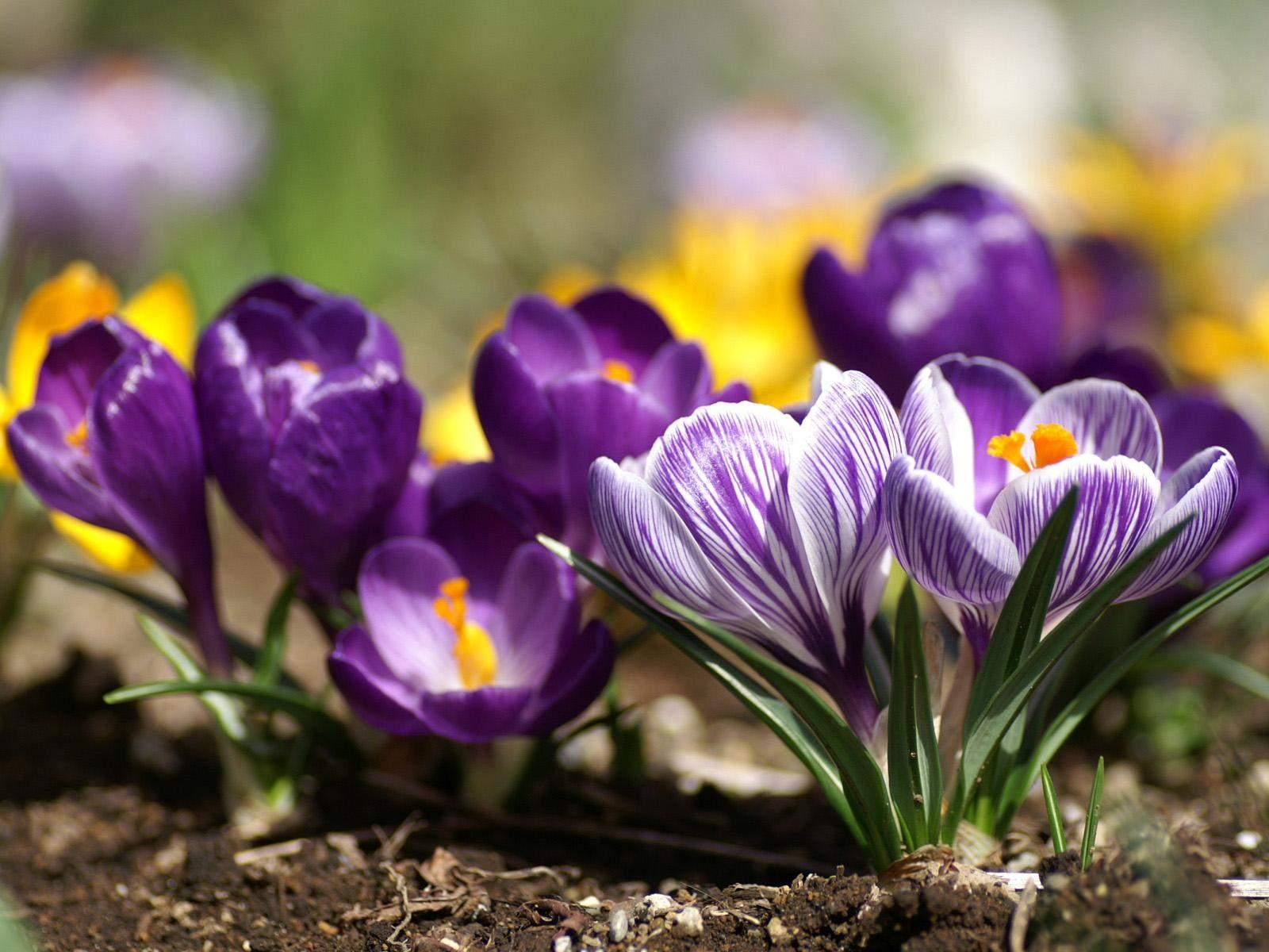 Spring Season Flowers   Wallpapers 1600x1200