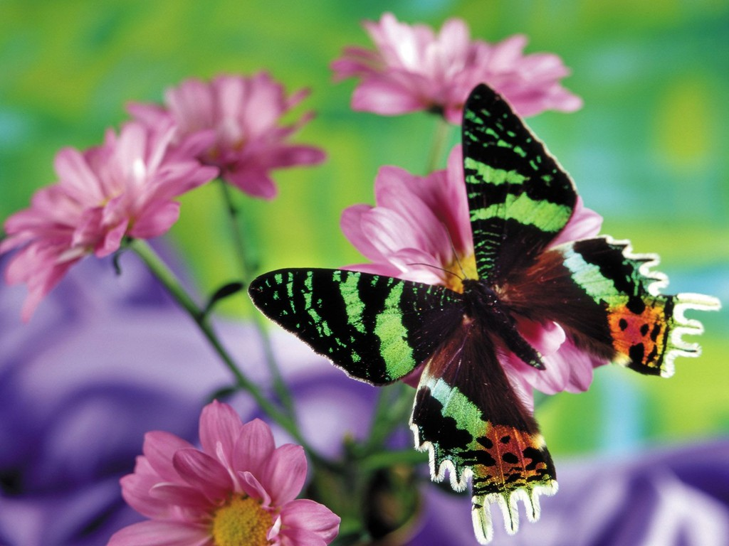 butterfly wallpapers download Toptenpackcom 1024x768