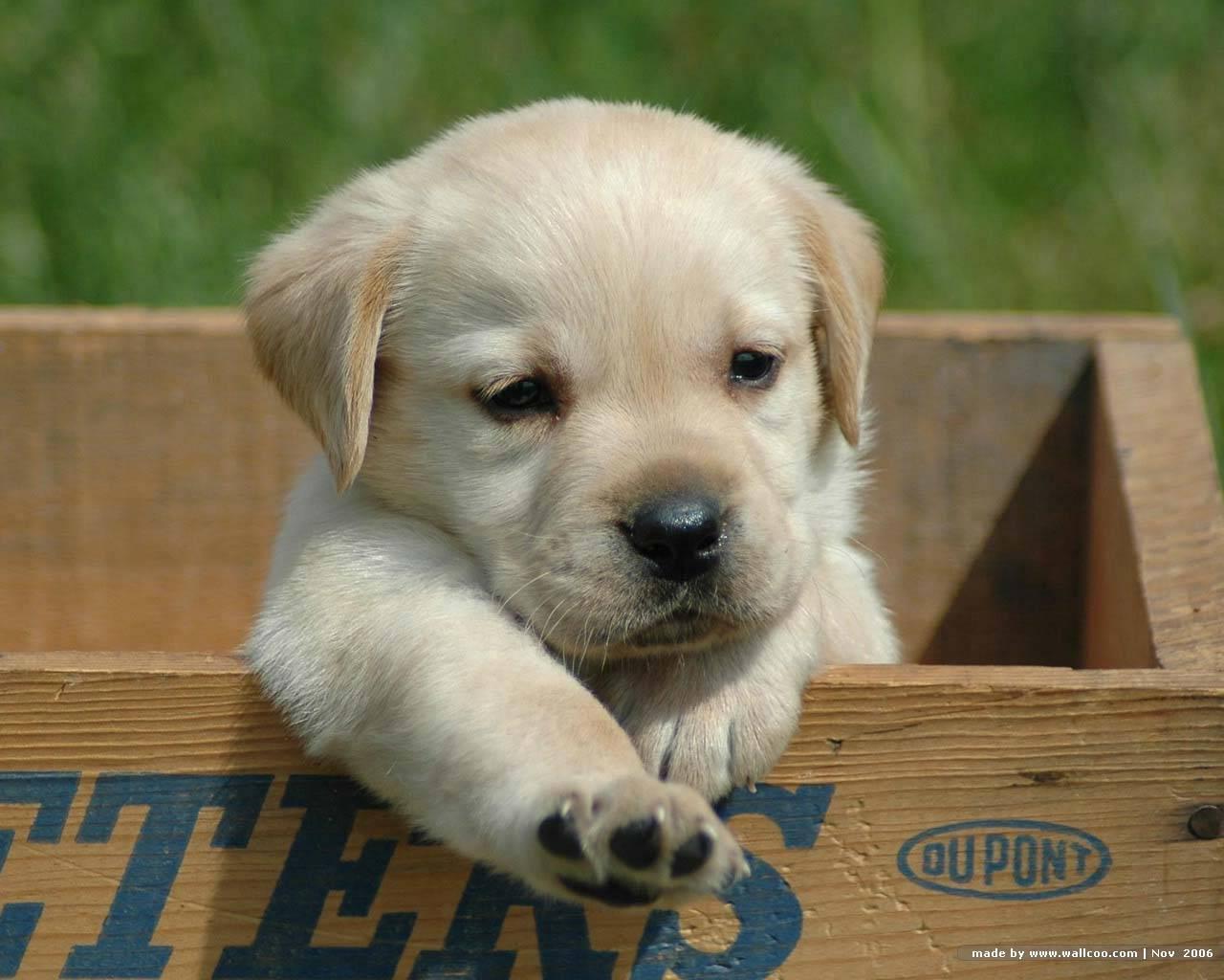 wallpaperscomwallpaperbaby dog of labrador retriever w1663html 1280x1024