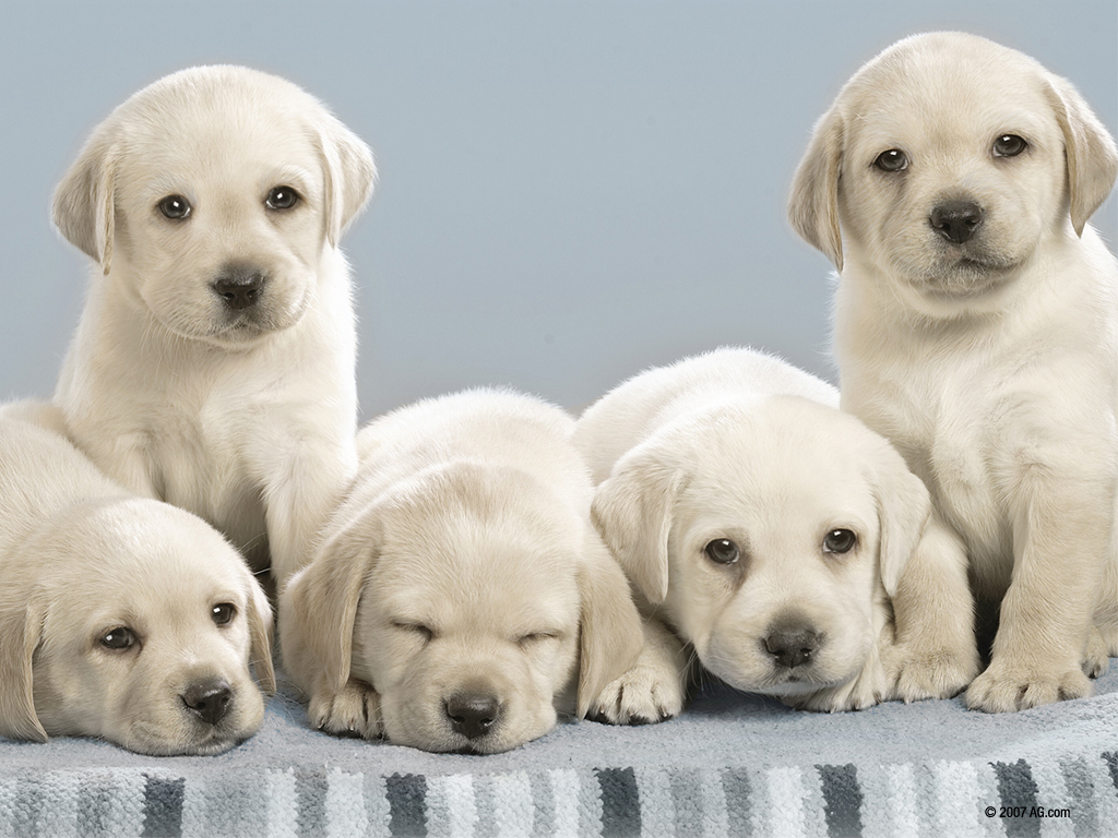 Dogs Look Alot Like my Yellow Lab on my game   Nintendogs Wallpaper 1024x768