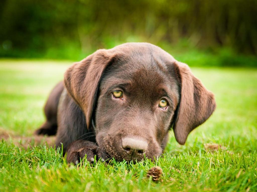 CHOCOLATE LAB PUPPY WALLPAPER   118467   HD Wallpapers 1024x768
