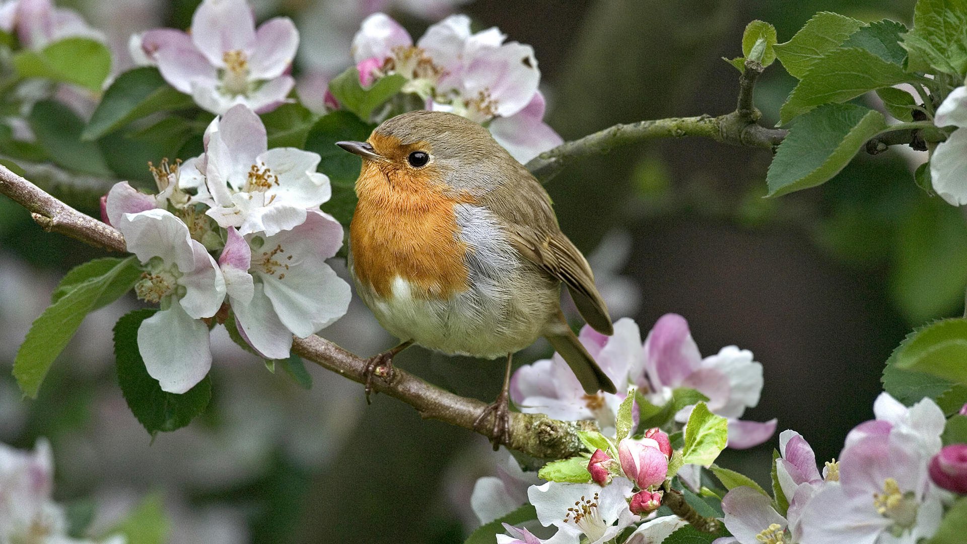 Birds And Flowers wallpaper   434052 1920x1080