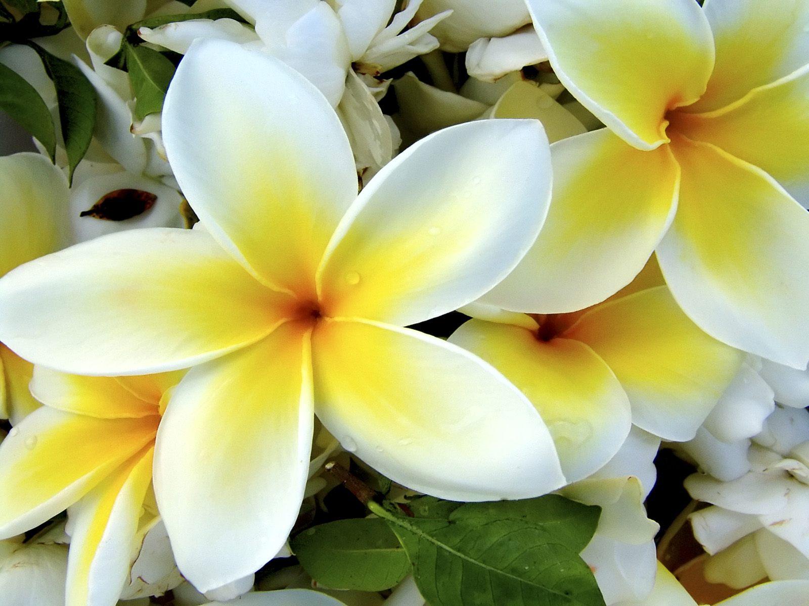 Hawaiian Flowers Wallpaper Backgrounds WallpaperSafari