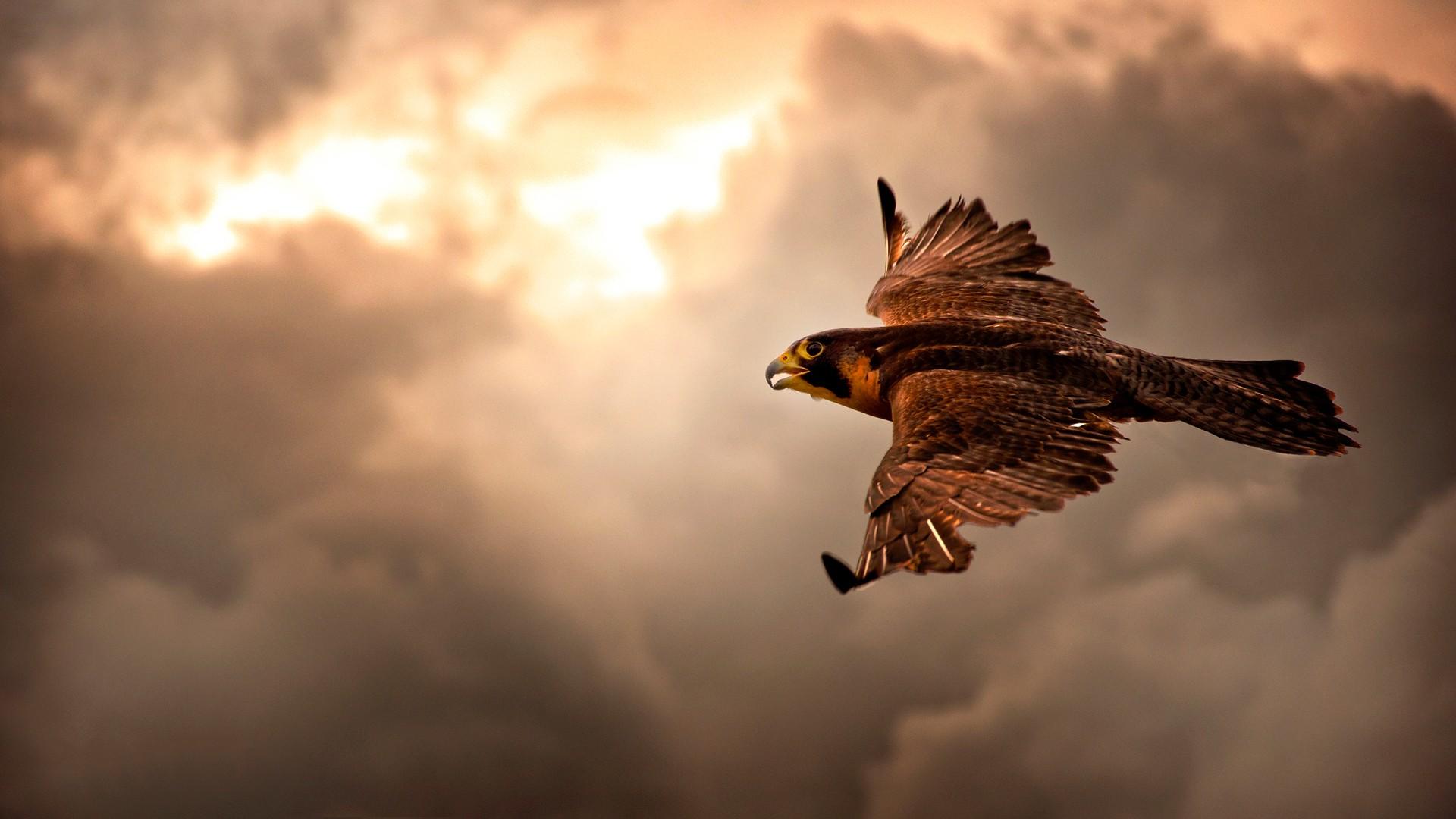 Brown Eagle in flight HD Wallpaper FullHDWpp   Full HD Wallpapers 1920x1080