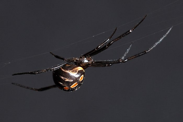black widow spiders deadly arachnida fatal images pictures wallpapers 700x466