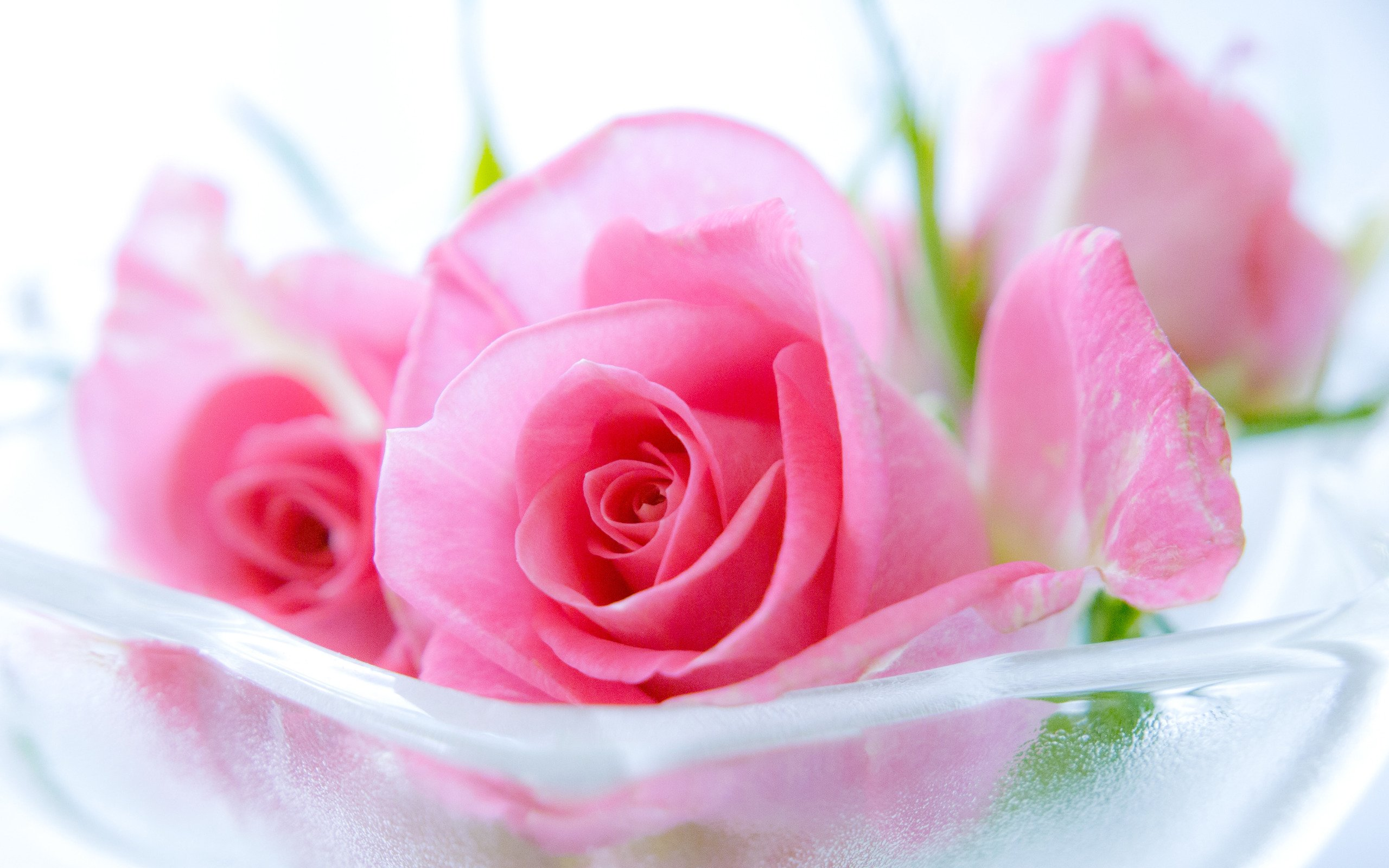 Pink Roses Wallpaper Related Keywords amp Suggestions   Pink 2560x1600