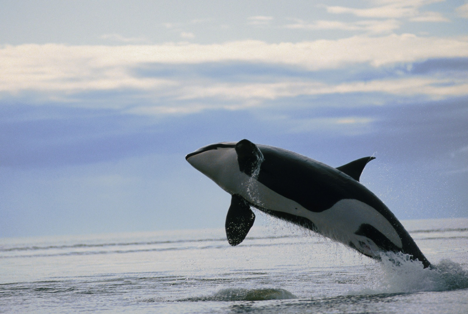Malignant Sharks and Killer Whales My image 1600x1073