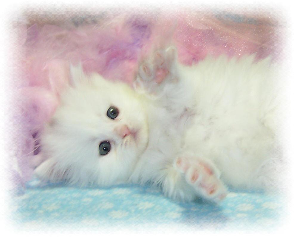 Wallpapers white kitten wallpapers 986x795