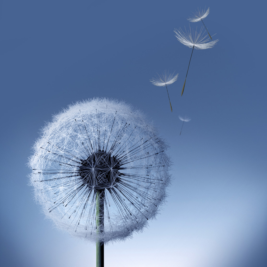 Galaxy S3 Dandelion - HD Wallpapers - Galaxy S3 Dandelion
