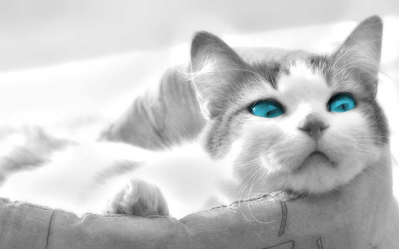 Beautiful Blue Eyes   Cats Wallpaper 16249915 1280x800