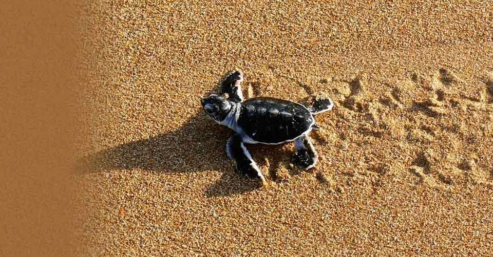 Baby Turtles On The Beach Wallpaper Baby turtles background 960x502