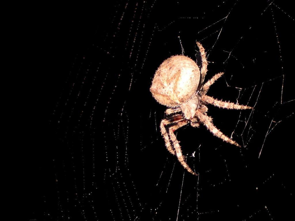 Barn Spider Wallpapers Animal Literature 1024x768