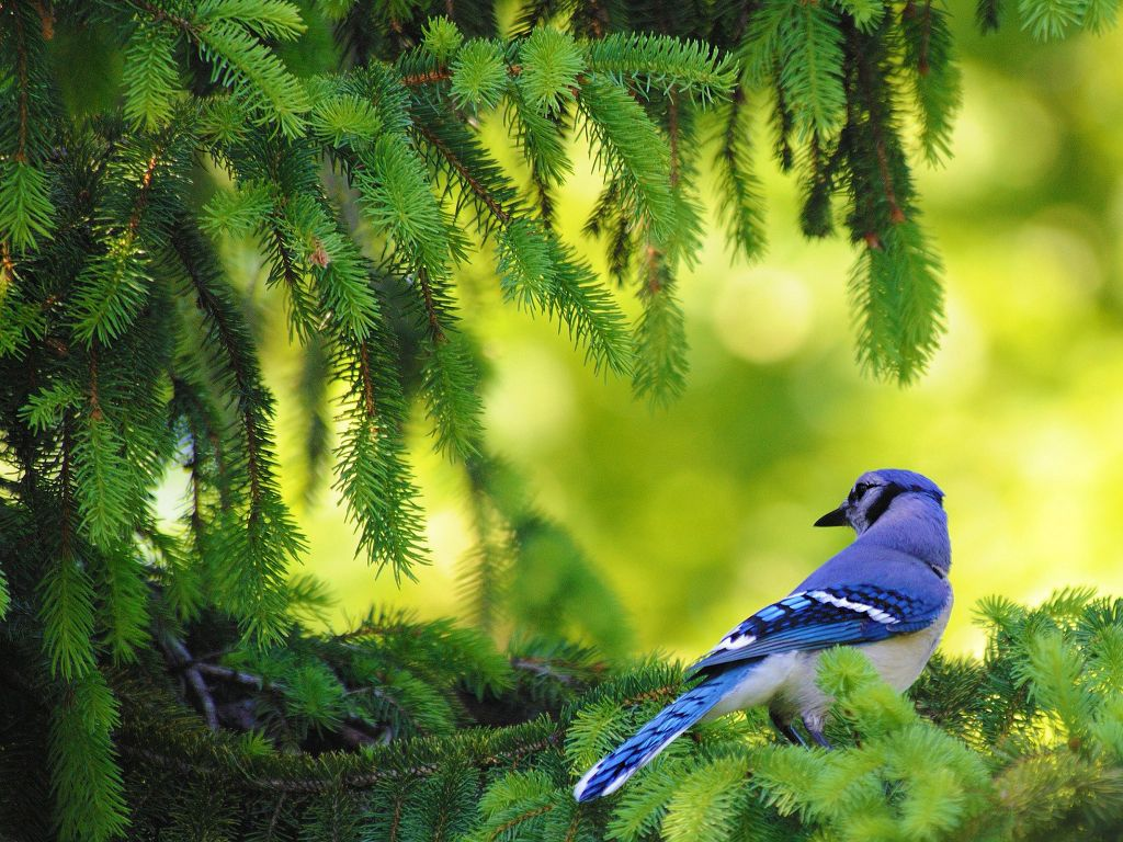 Download Blue Bird Wallpaper in 1024x768 resolutions for Desktop 1024x768
