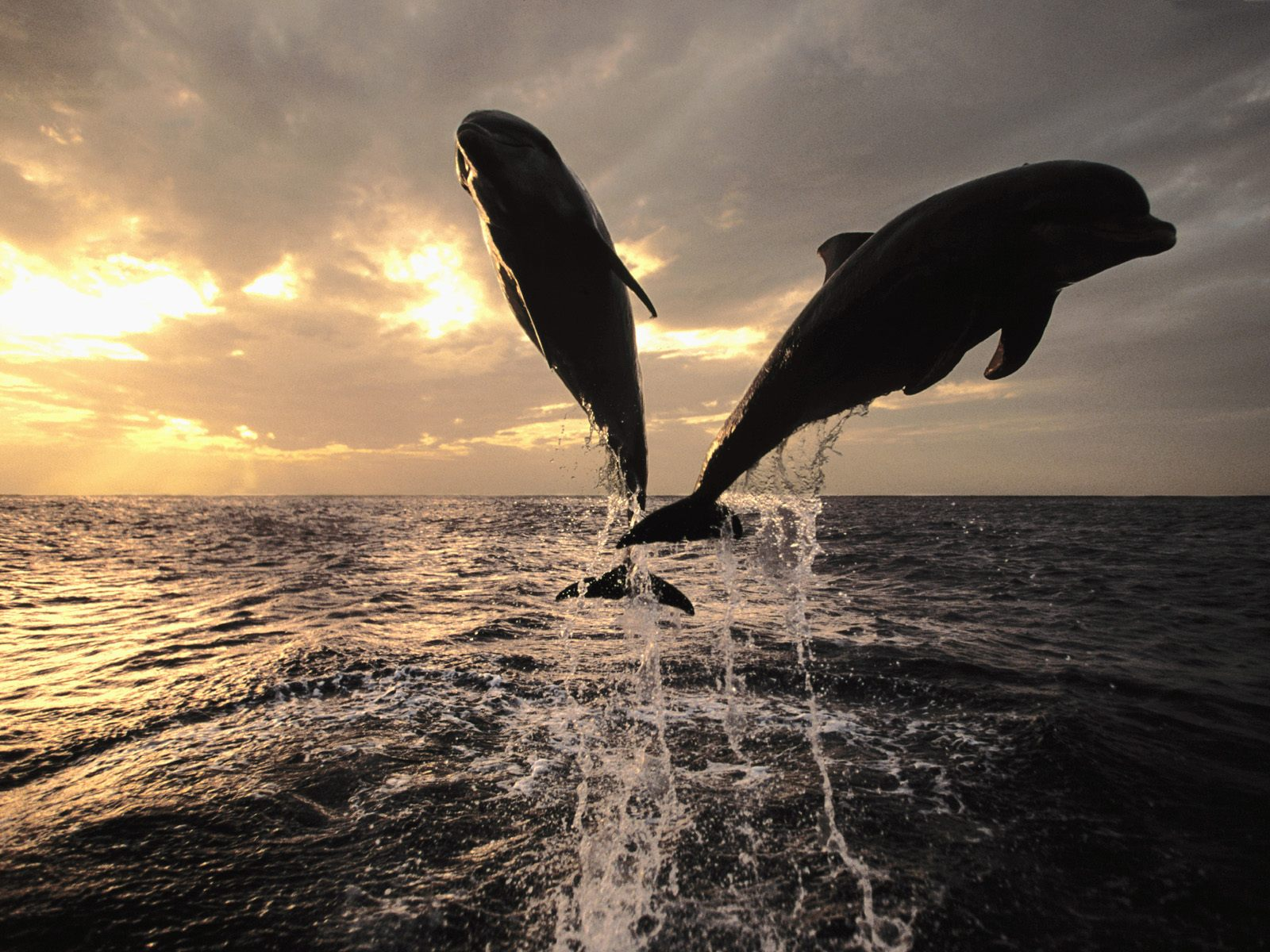 Dolphin Wallpaper Screensavers Pictures Videos and Site Seeing 1600x1200