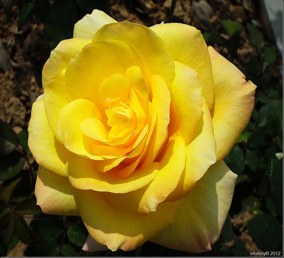 Yellow Rose Flower symbols of friendship and caring Wallpaper 989x900