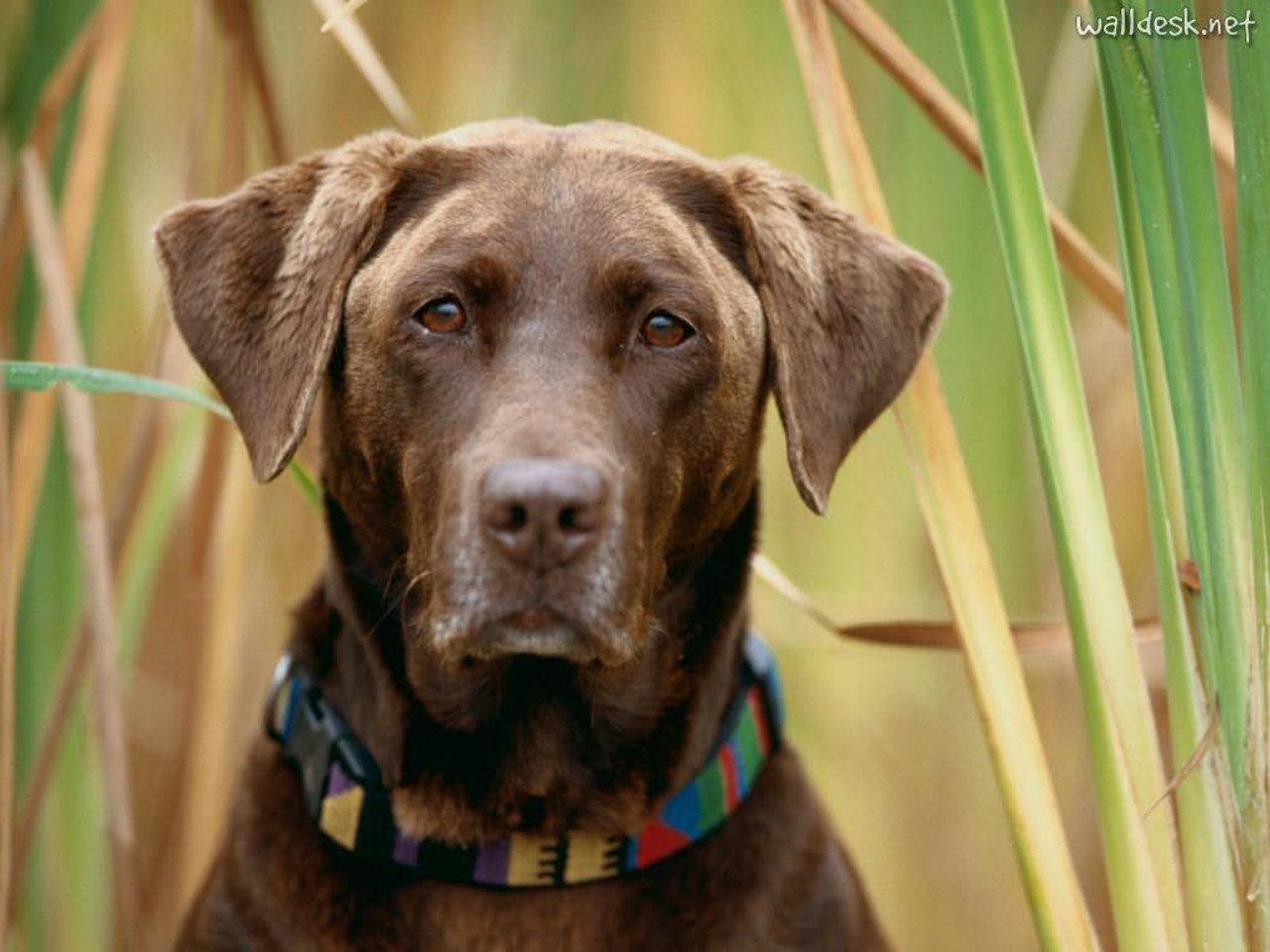 Labrador Chocolate Papis de parede para PC fotos Cachorros 1280x960
