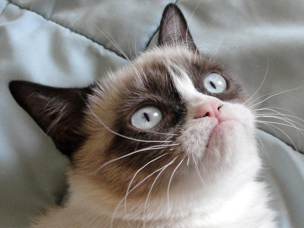 Grumpy cat High Quality WallpapersWallpaper DesktopHigh Definition 1024x768