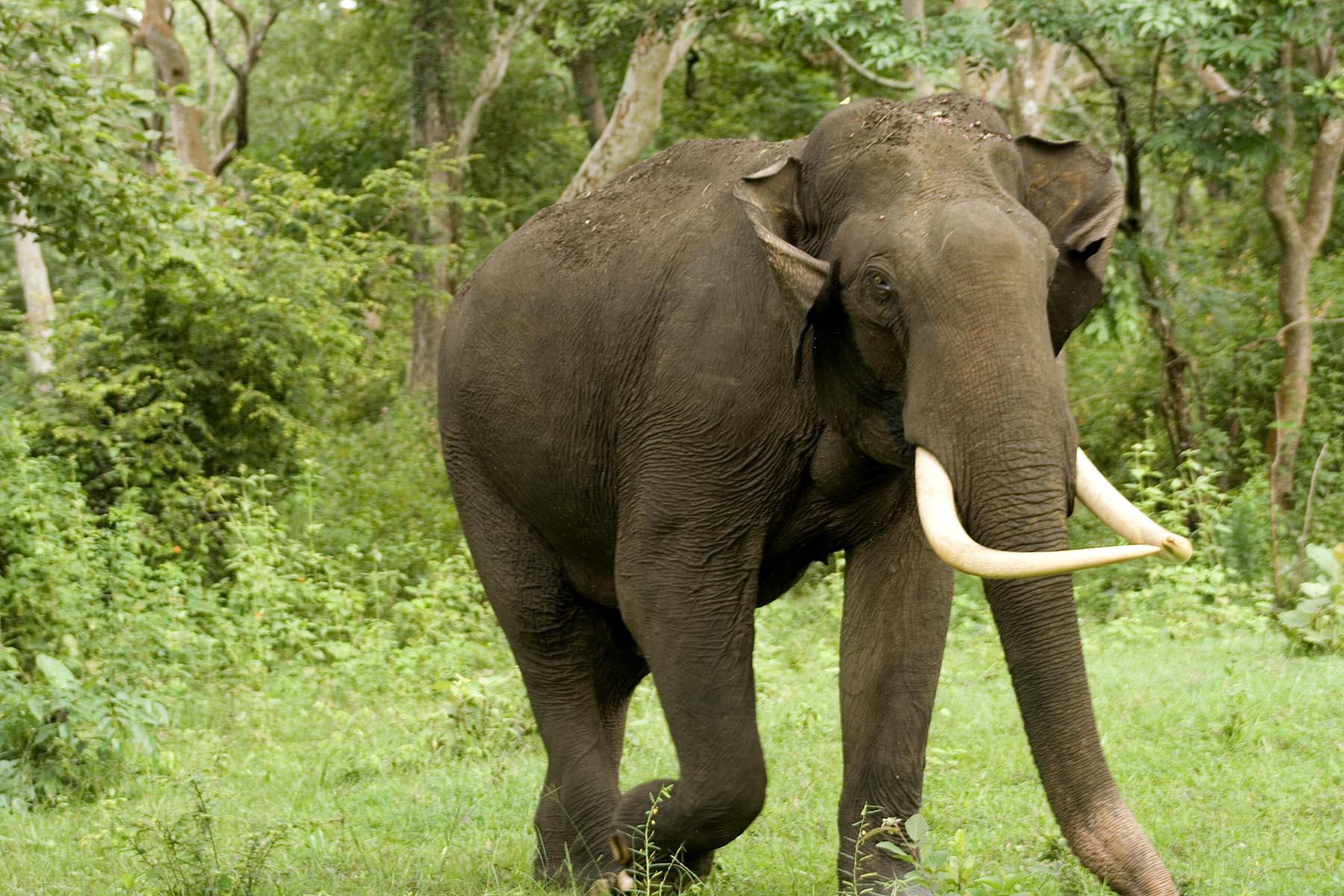 Free Download Indian Elephant Laos National Animal