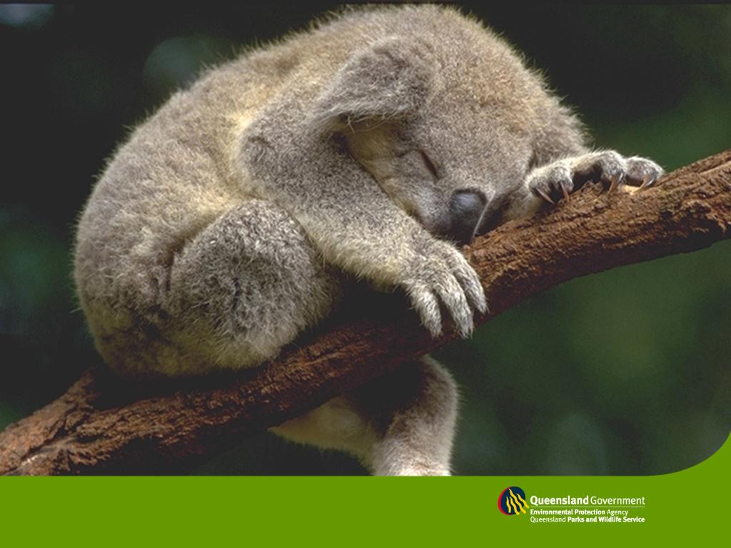 koala wallpapers koala wallpapers koala wallpapers koala wallpapers 1024x768