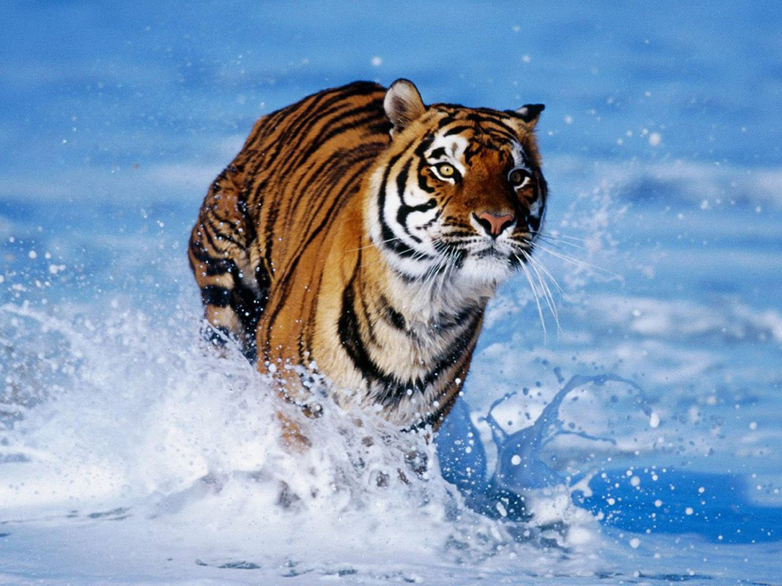 wallpapers Bengal Tiger Wallpapers 1600x1200