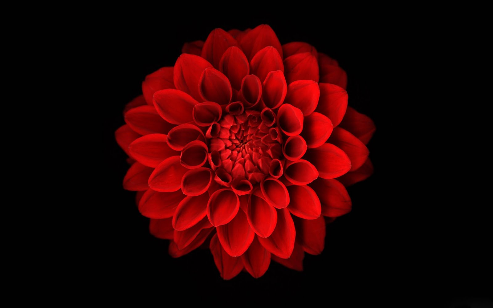 54 Red Flower Black Background On Wallpapersafari