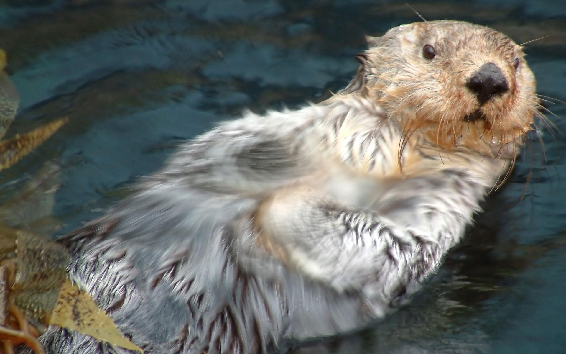 Wallpaper Sea otter Kalan Otter wet swim desktop wallpaper 1920x1200