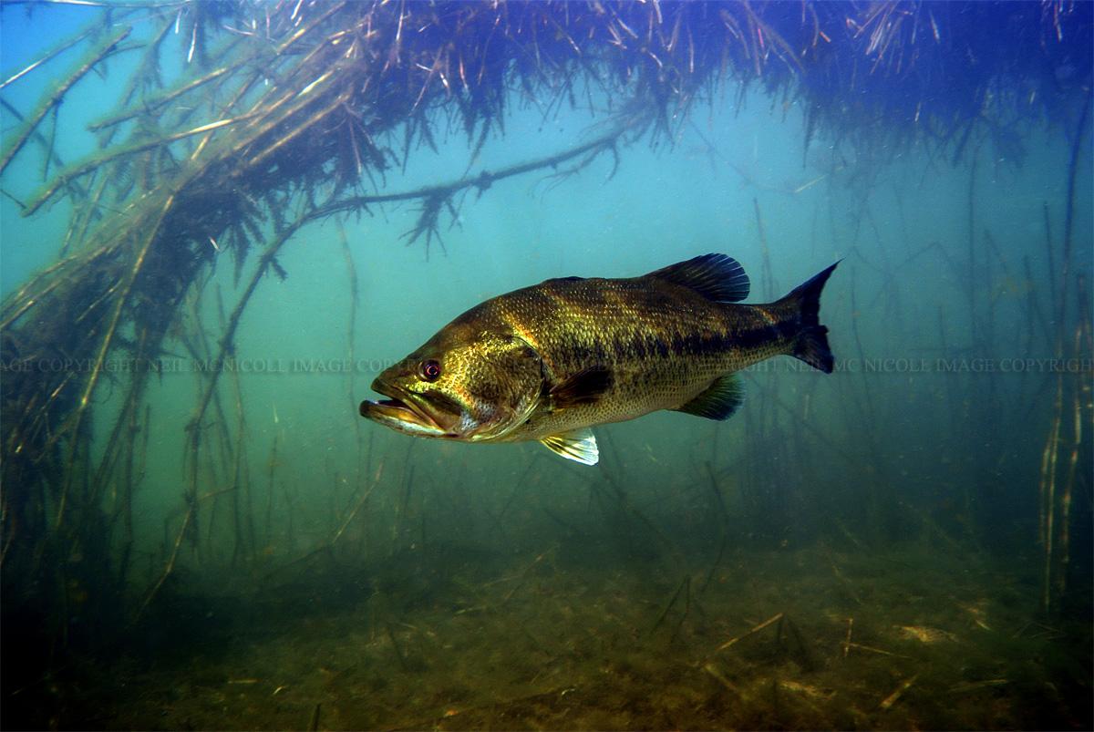 Largemouth Bass Largemouth bass framed by 1200x803