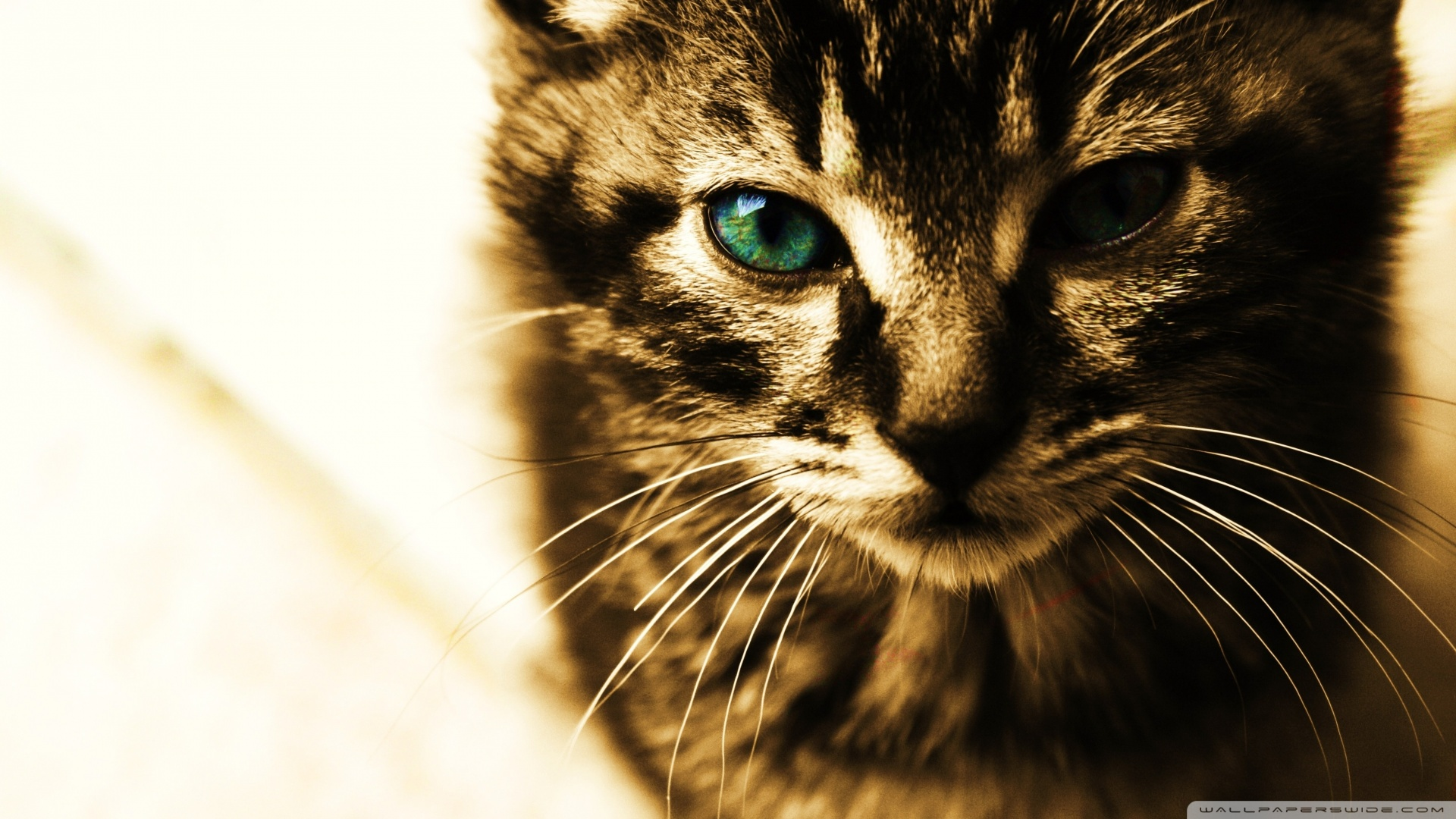 Green Eyes Kitten Wallpaper 1920x1080 Green Eyes Kitten 1920x1080
