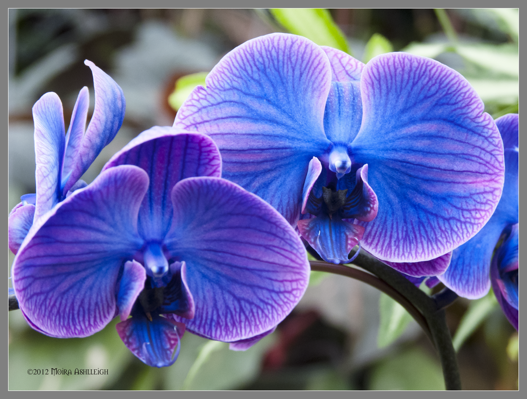 Blue Orchid Wallpaper - WallpaperSafari