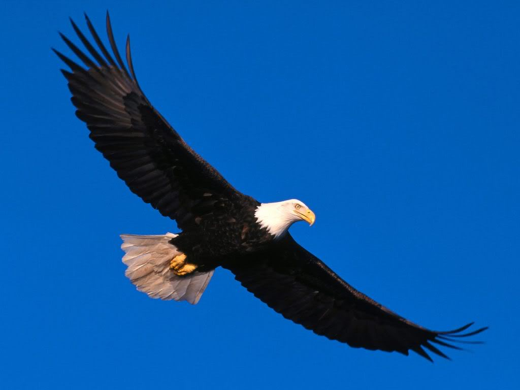 Flying Eagle Wallpaper 9643 Hd Wallpapers in Animals   Imagescicom 1024x768
