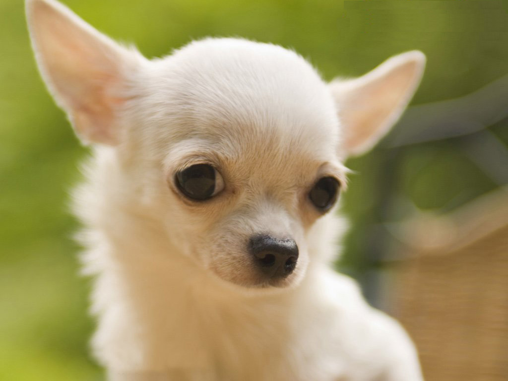 Free Chihuahua Wallpaper for Desktop on