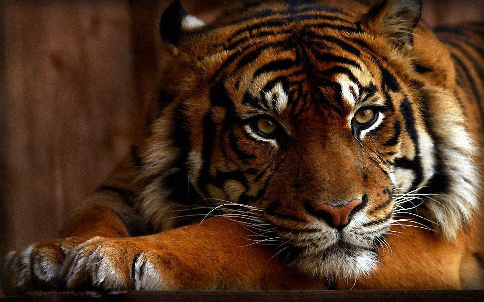 Tiger Wallpapers   Top Tiger Backgrounds   WallpaperAccess 1920x1200