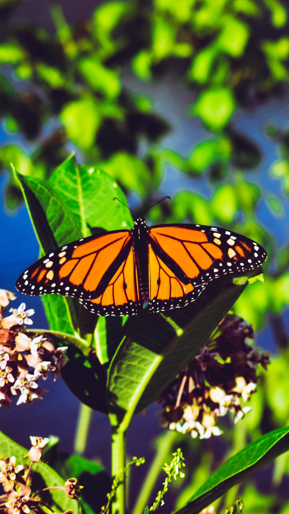 Download wallpaper 938x1668 monarch butterfly butterfly bright 938x1668