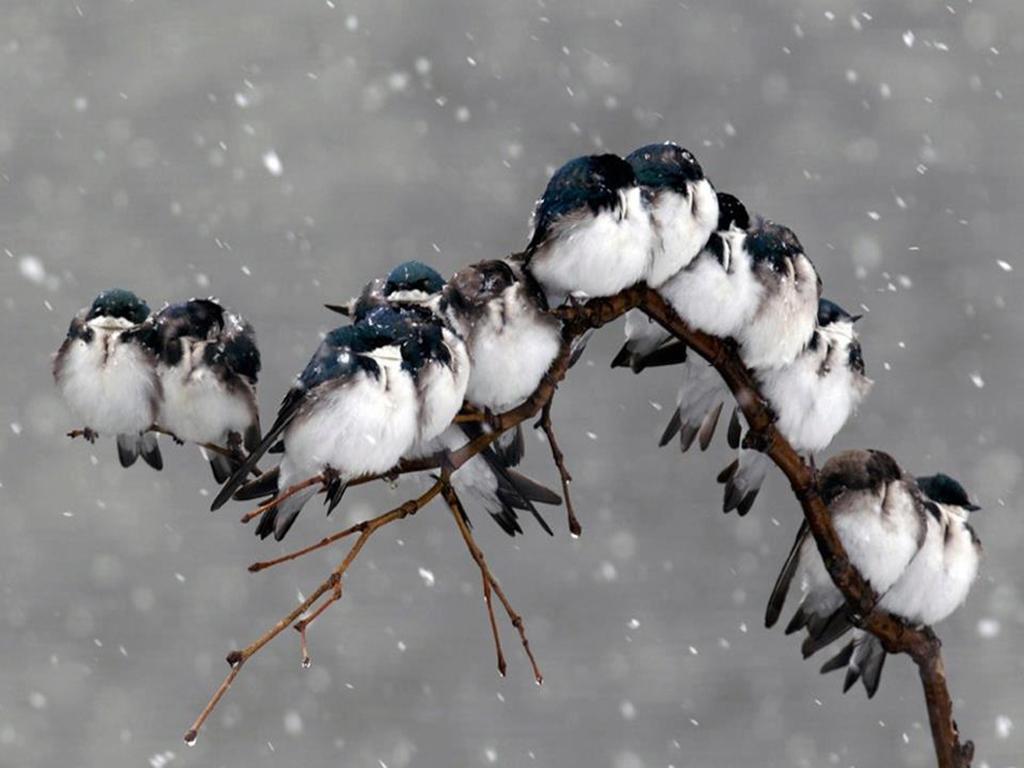 Winter birds wallpaper   ForWallpapercom 1024x768
