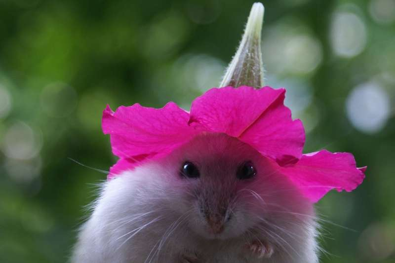 Hamster With a Cute Petunia Hat Photosen   Your source for 800x533