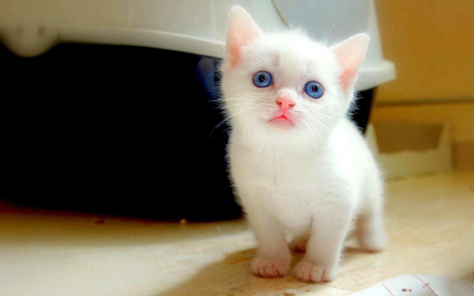 Cute Cat WallPapers Download Beautiful Cats Desktop HD 1600x1000