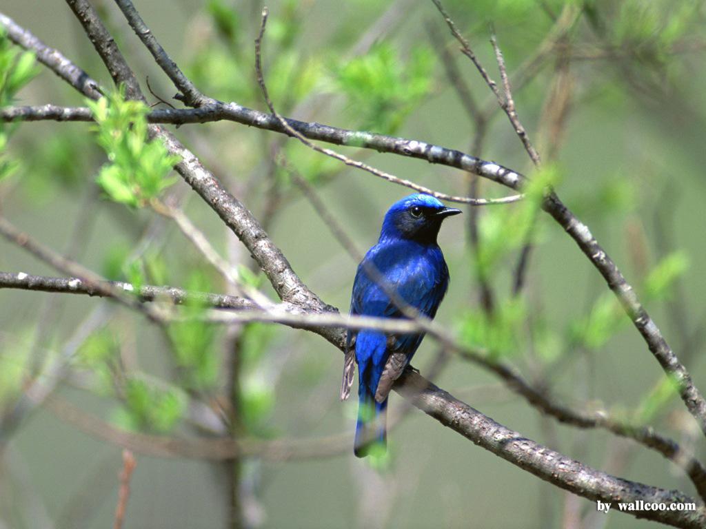 Birds Wallpaper   Lovely Bird in Spring Vol1 1024x768 NO17 Desktop 1024x768