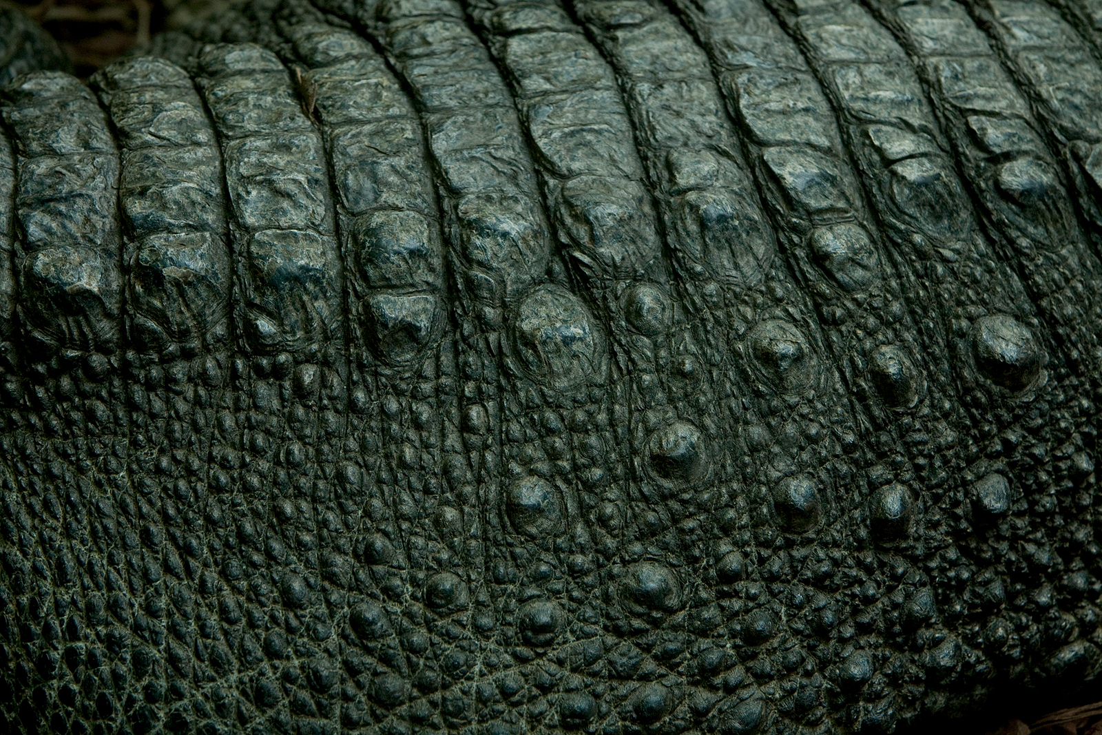 Alligator skin This one would likely bite back 1600x1067