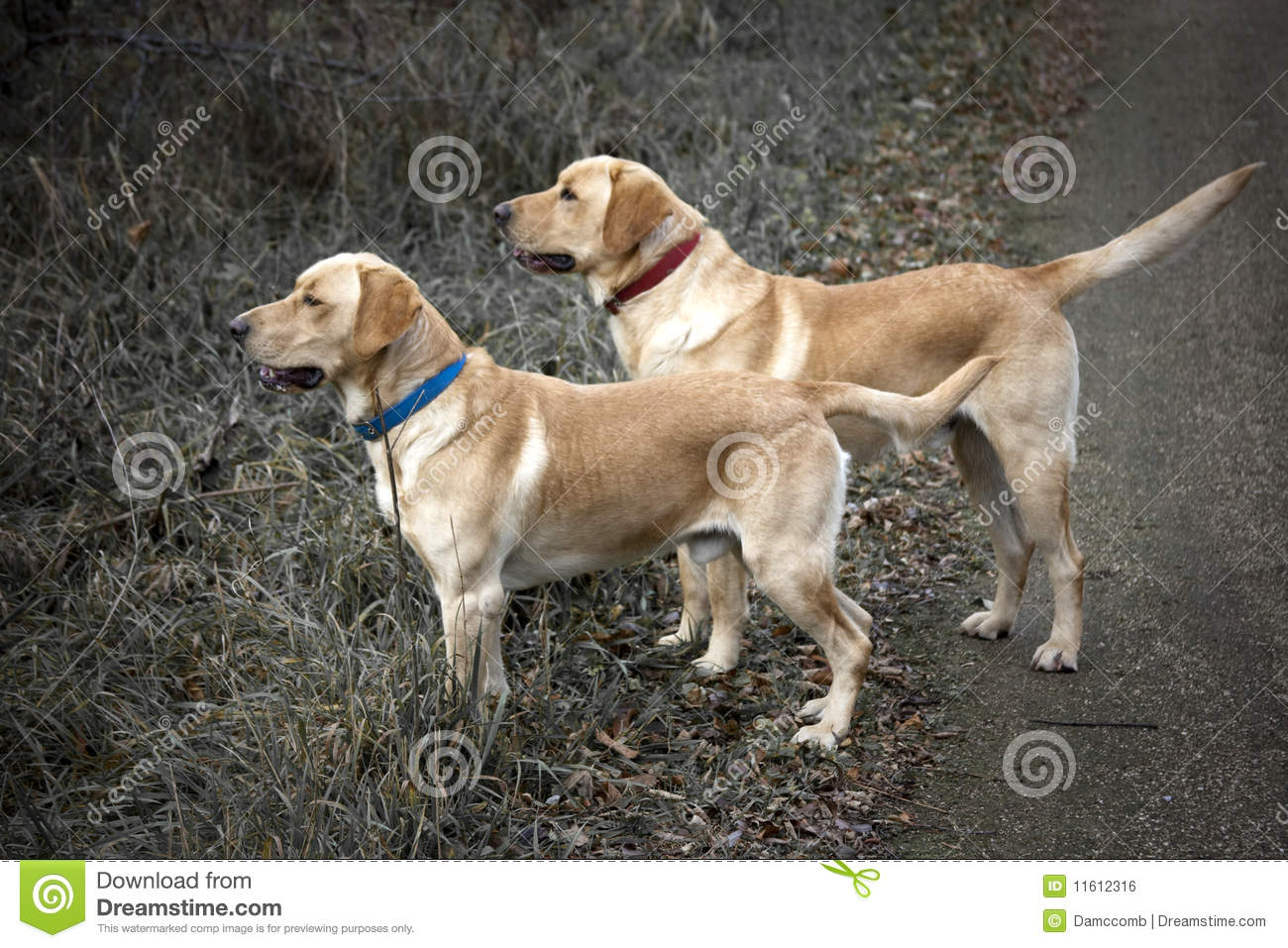 Yellow Lab Hunting Royalty 1300x957
