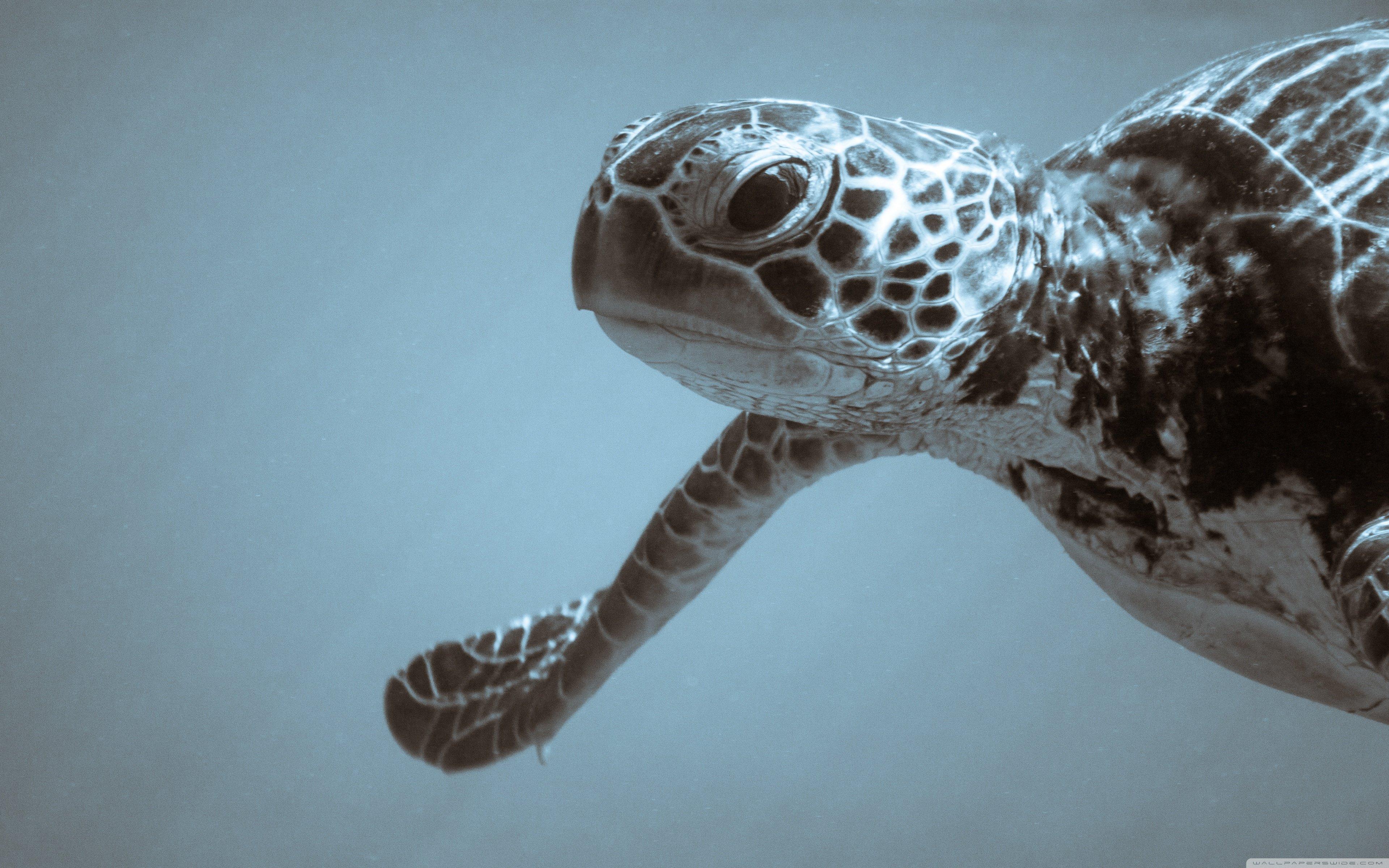 Sea Turtle 4K HD Desktop Wallpaper for 4K Ultra HD TV Wide 3840x2400