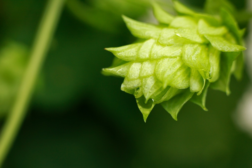 Download Hops Wallpaper Hops In The Morning After 1024x683 40