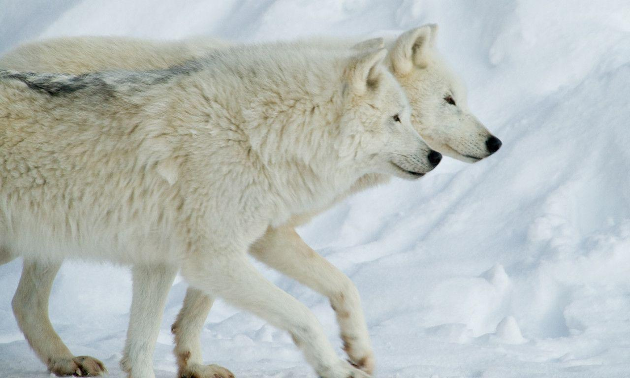 Free Download Arctic Wolf Wallpapers 1280x768 For Your Desktop