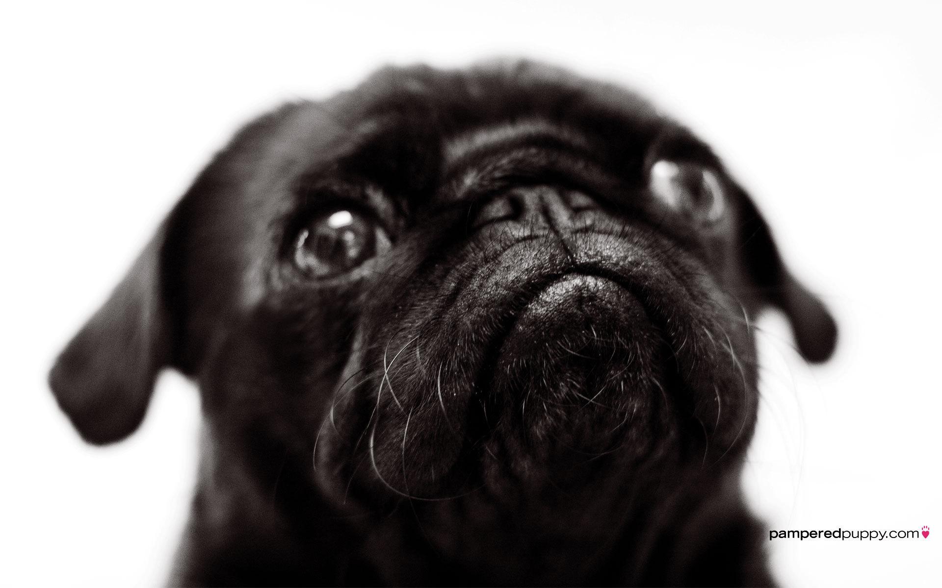 Beautiful Pug   Pugs Wallpaper 13728039 1920x1200