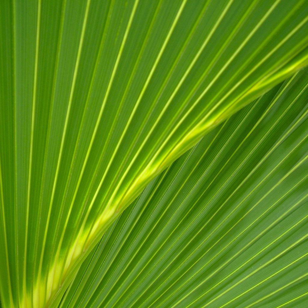 Palm Leaf IPad Wallpaper 1024x1024 Palm leaf iPad 1024x1024