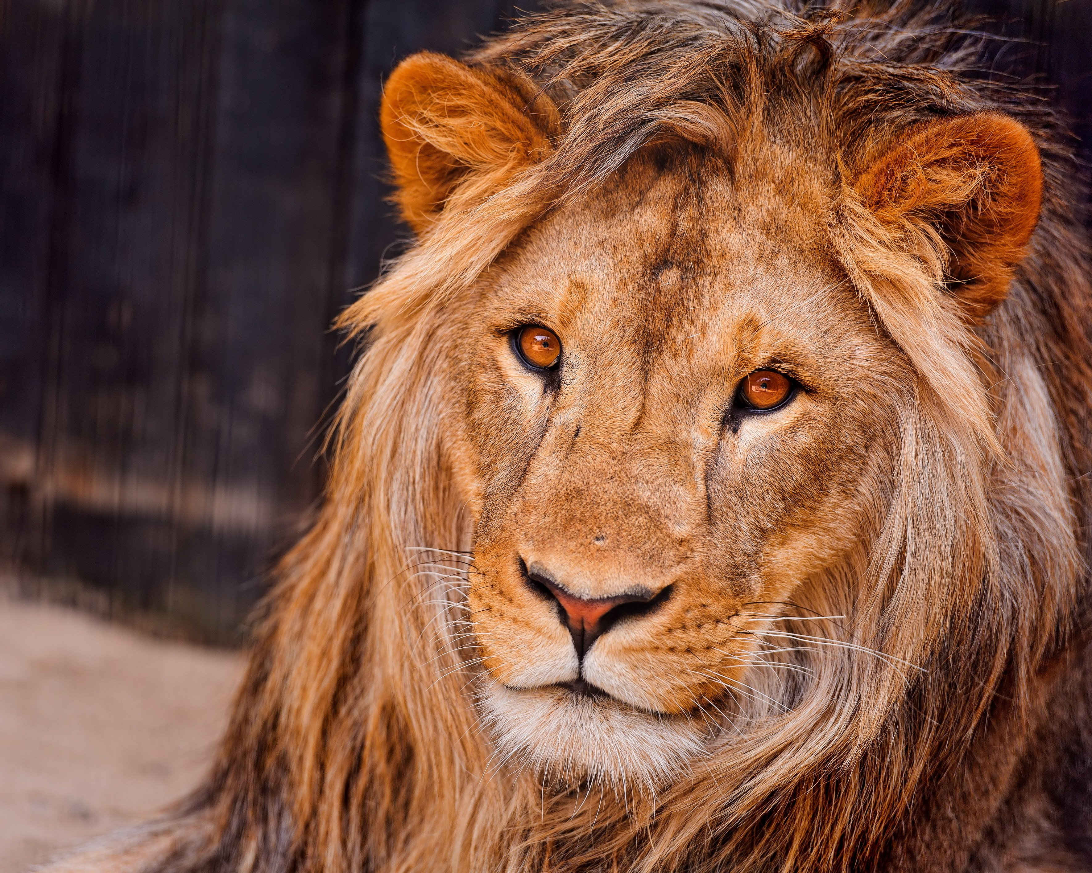 Lion face mane wallpaper   ForWallpapercom 3540x2832