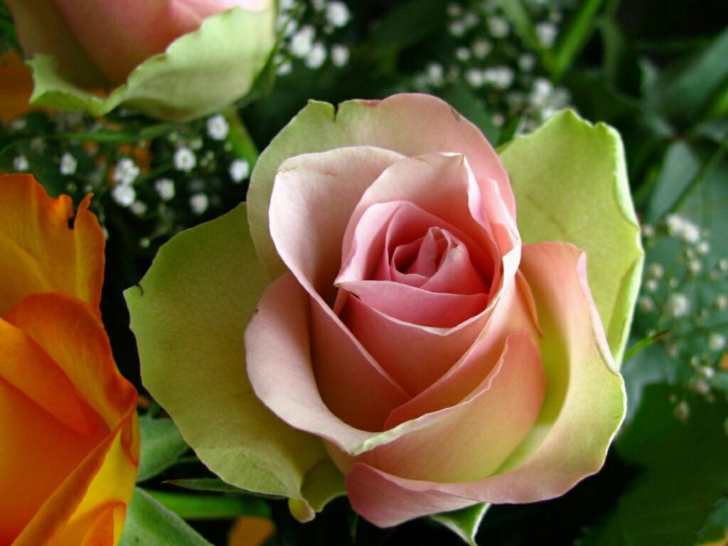 Wallpaper Flowers Rose HD