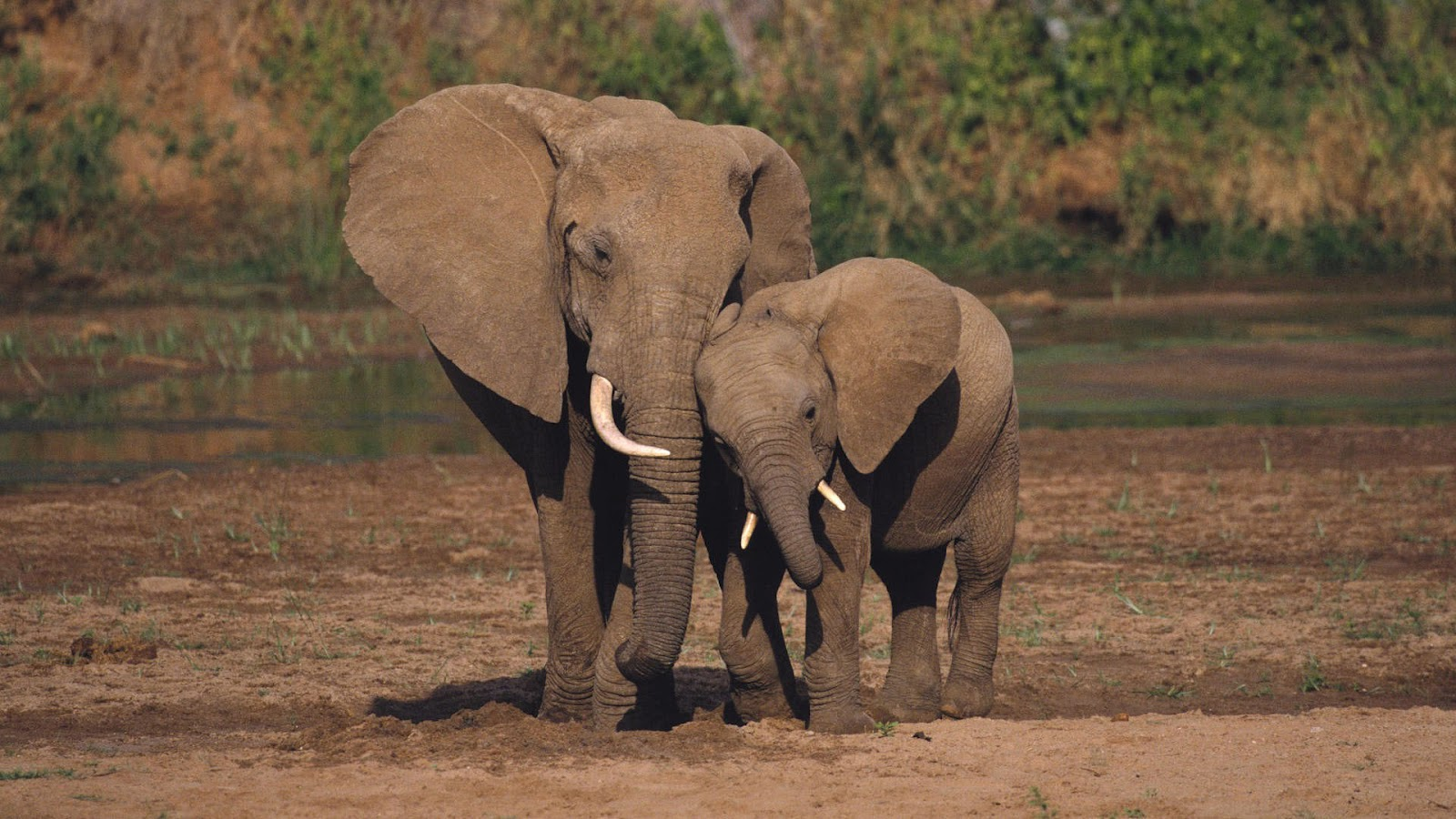 hd elephants wallpapers with a mother and his young elephant wallpaper 1600x900