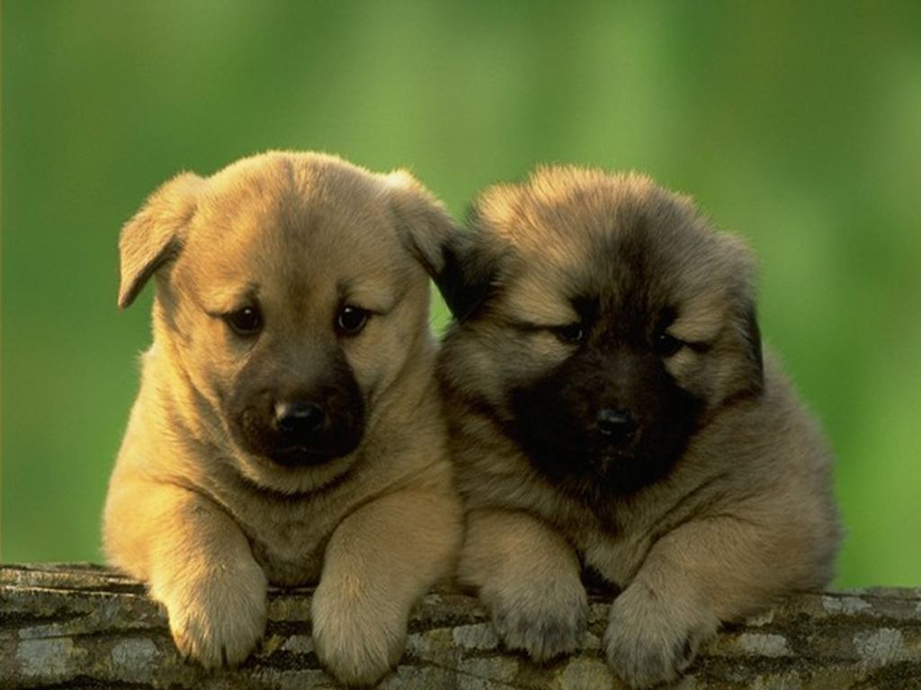 puppy wallpapers and screensavers 1024x768