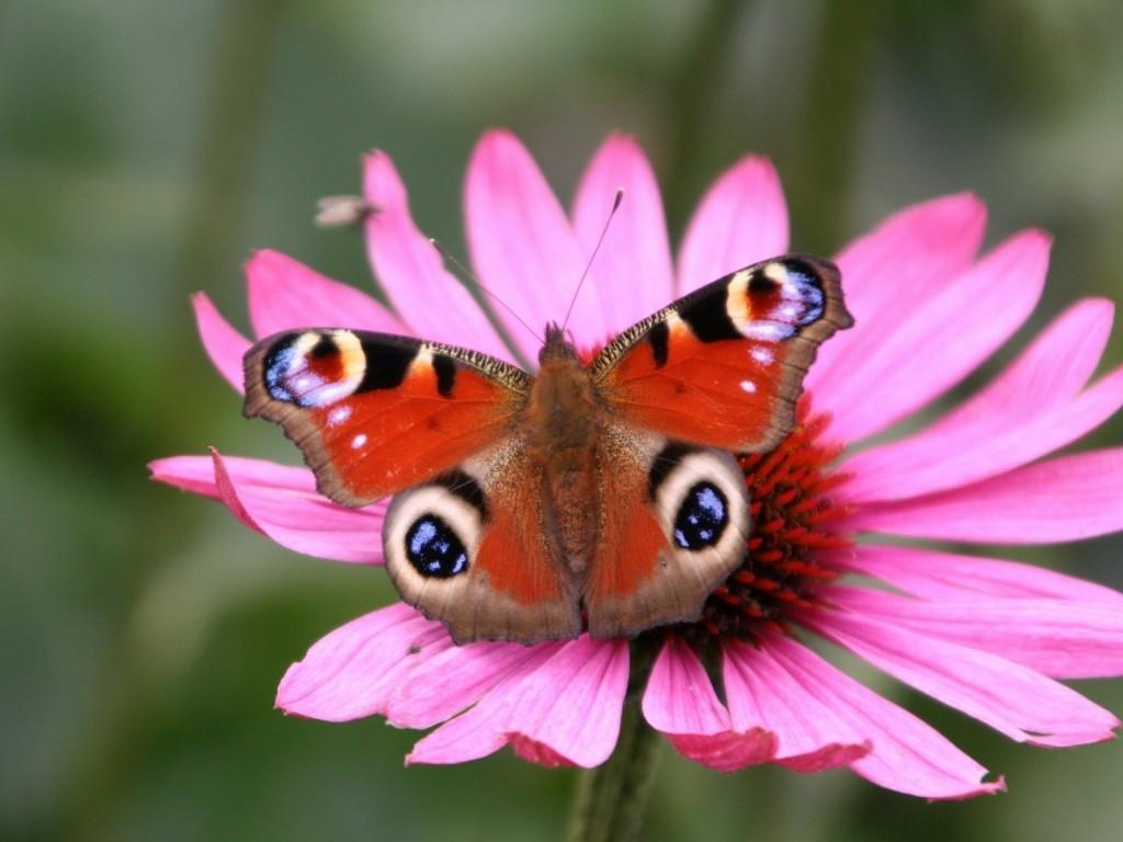 Pink Butterflies Wallpaper Butterfly 1024x768